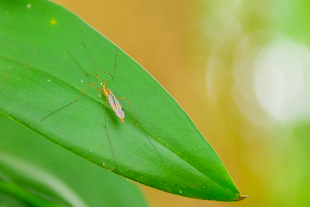 mosquitoes: Mosquitoes are perched on leaves. Stock Photo