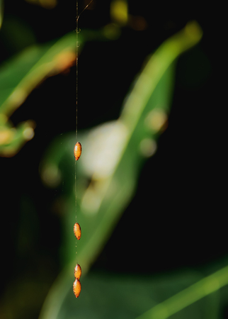 lacewing: Naturally, the insects to lay their eggs and leave it out. Stock Photo