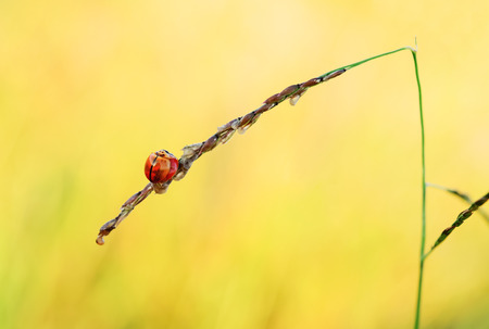 septempunctata: Ladybug is perched on a grass. Stock Photo