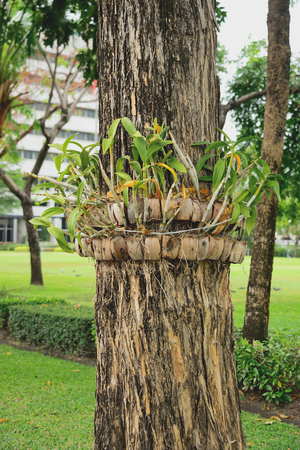 siamensis: Orchids were planted on large trees.