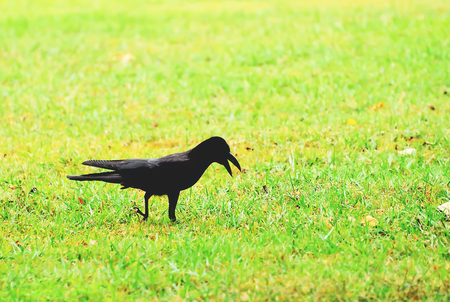Crows are looking for food in the middle of the lawn.
