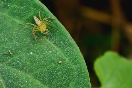 Spider eating its food on the leaf.