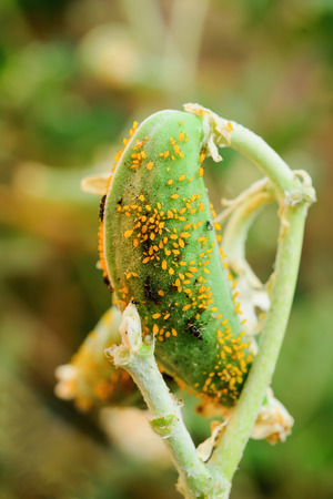 insidious: Small aphids are insects that feed on nutrients from plants.