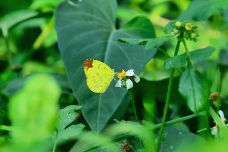 Butterfly sucking nectar from flowers.