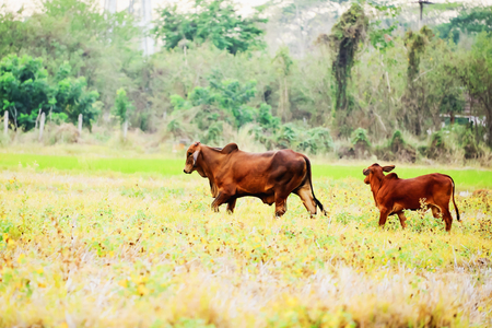 black angus cattle: Cows find grass in the middle of the field. Stock Photo