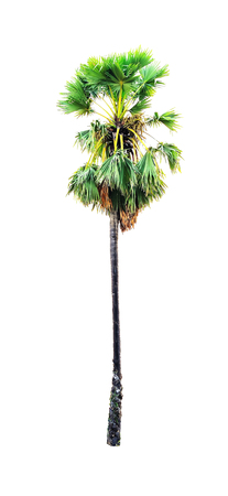 The palm tree is a traditional African plant. Later, it spread to other parts of tropical Asia, including Thailand. Found in all parts of the country.