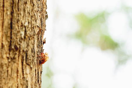 When the cicada has grown adult, it will molt and leaving it under the tree.