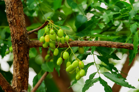 laxatives: Seeds of neem can be made into herbs as laxatives.