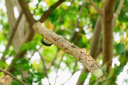 leiothrix argentauris: Birds are finding insects hidden behind bark.