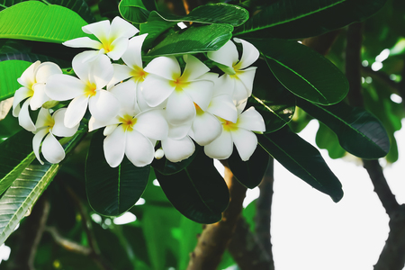 Frangipani flowers are blooming, revealing the petals white with a yellow center.