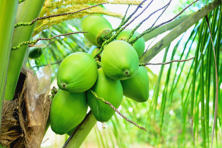 Coconut water is used for drinking to thirst.