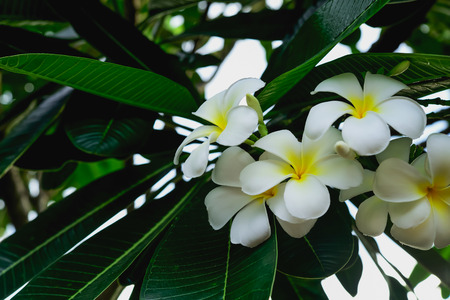 When we looked Plumeria flower blooming as if it shows a race to the white petals. Stok Fotoğraf - 81863504