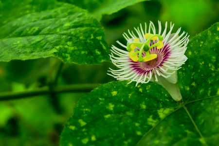 passion fruit flower: Flower sundae with mesh covering around the flower and become the mesh, it will cover balls. Stock Photo