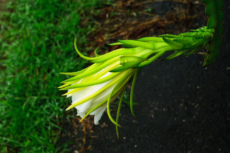 Dragon fruit is a cactus plant family that planters are grown as economic crops.