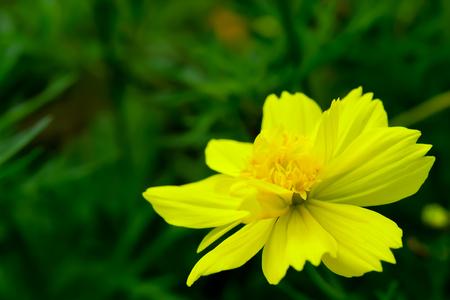 Yellow Cosmos es una flor inodoro, pero se cultiva fácilmente. Foto de archivo - 87642346