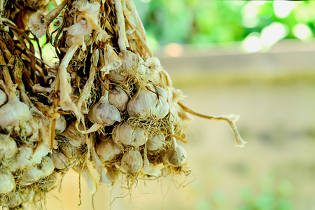 Garlic is a mixture of food ingredients, which will be kept for months, year after year, with all the plants and roots and then hang them.