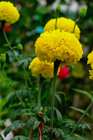 Marigold blooming yellow flowers with green leaves cut out of it.