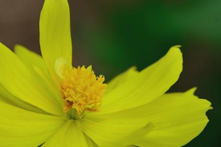 Starship es una flor muy hermosa. Desafortunadamente, es inodoro. Foto de archivo - 90384677