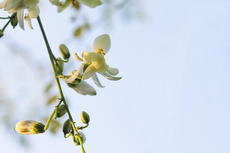 Moringa flowers blooming, revealing yellow pollen.