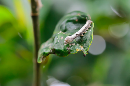 The caterpillars are unsightly color for camouflage.