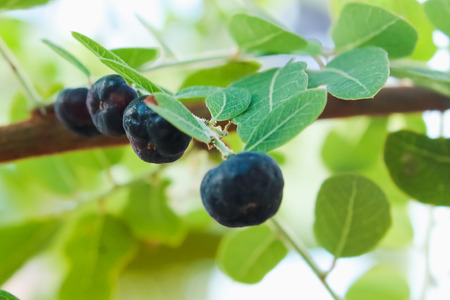 Wild fruits were not ripe to be attached to the branches all the time.