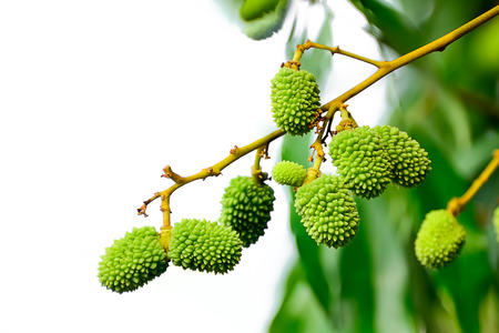 Lychee is a seasonal fruit with a sweet aroma and high vitamin content. Stock Photo