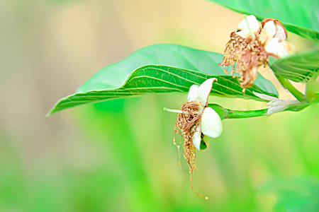 Guava is a flower with both pollen and females in the same flower. Stock Photo