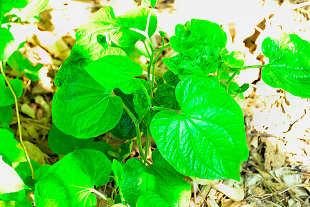 Wild Betel Leafbush is often used to cook the leaves are not too soft or too old, which gives it a better taste.