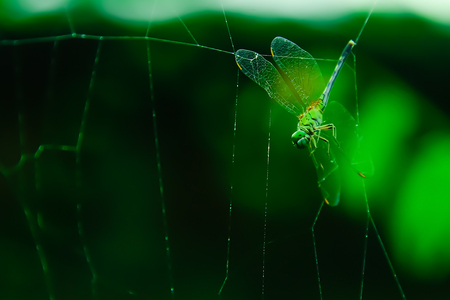 The spiders that have created the trap trapped their food and dragonrfly are attached to this trap. Stock Photo