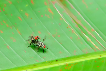 Two flies are mixing together to have a baby.