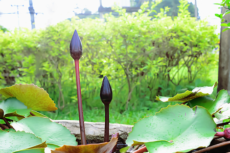 The lotus planted in the basin is flowering, which each flower has not yet time to bloom.