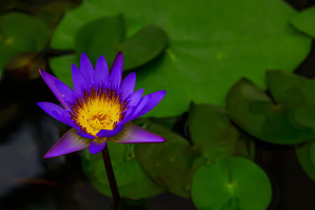 The bee is finding its food near the lotus.