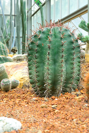 The cactus is usually surrounded by thorns around it to prevent the ingestion of edible animals. Foto de archivo
