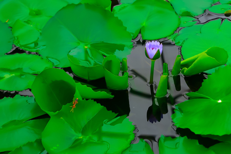 Lotus blooming for sun in the water.