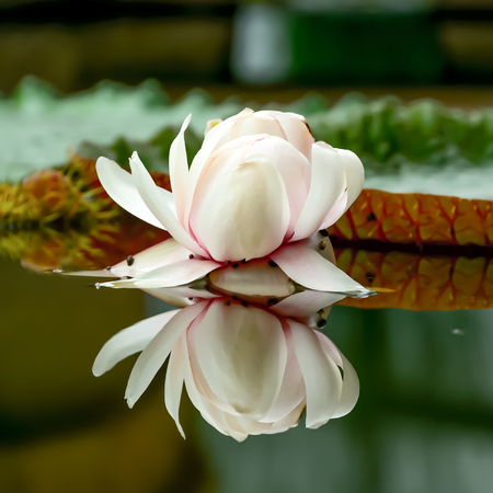 The blooming lotus usually has a bite to eat the petals, which are usually seen.