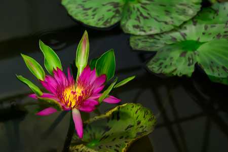The pollen of the lotus flower is more vibrant than petals to attract flies. Imagens