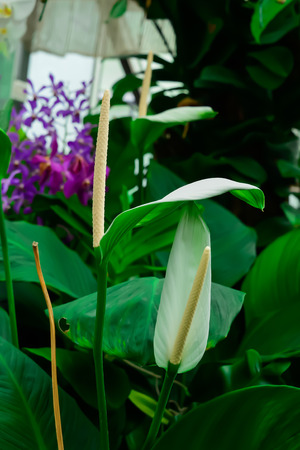 Anthurium is an odorless flower, but it has the appearance of beautiful flowers and can be decorated with other flowers, it will remain fresh for a long time. Foto de archivo - 115523010