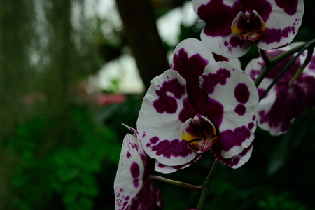Orchids with white and purple petals look good to see the purple petals look like birds are spreading wings. 写真素材