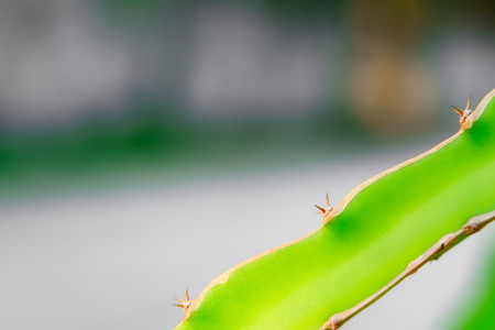 Dragon fruit trees often have thorns in the trunk to protect the wood, allowing herbivores to eat it easily. 스톡 콘텐츠