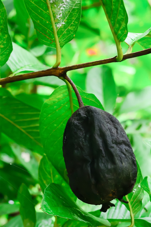 The fruit of the remaining guava tree from the harvest will be abandoned until it is damaged and cannot be used.