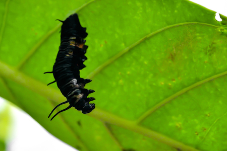 When the worm eats food fully, it will stop eating and become a pupa, in the first stage still seen as the shape of the worm.