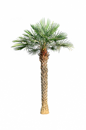 The palm tree is a popular tree that is planted in the garden for shady and beautiful.