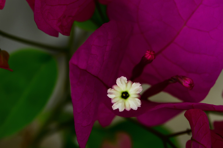 Bougainvillea flowers are blooming, revealing pollen that is very small.