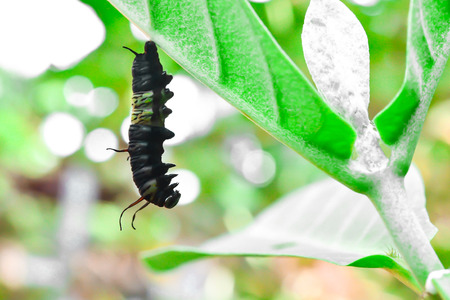 The caterpillar has stopped eating and changed into a pupa so that it became a butterfly.