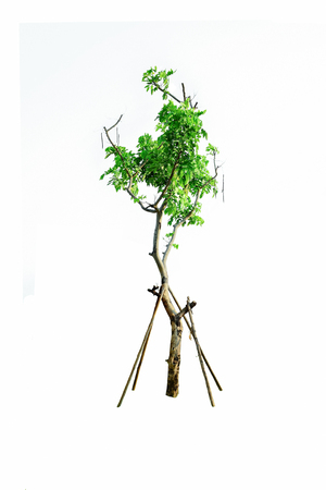 The tree has tall stems and branches that are filled with green leaves.