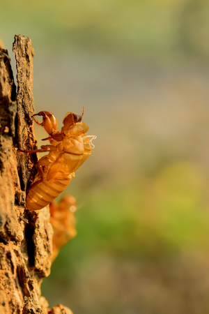 When cicada grows into an adult and has an increased body size, it will molt and leave its stains in the trees
