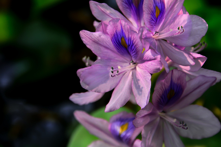 Water hyacinth is a watery flower with sepals that are beautiful but without smell. Stok Fotoğraf