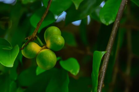 Ylang-ylang flowers that are pollinated will grow into a ball. The result can be further extended. Stok Fotoğraf