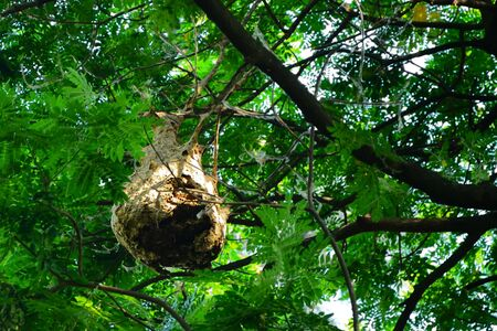 The hornet's nest, which is built on the tree, usually grows larger after it expands its population. Banco de Imagens