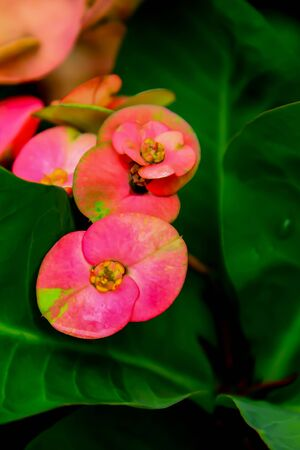 Poi Sian flower is another flower that has very large petals and beautiful colors, but without smell. Stok Fotoğraf